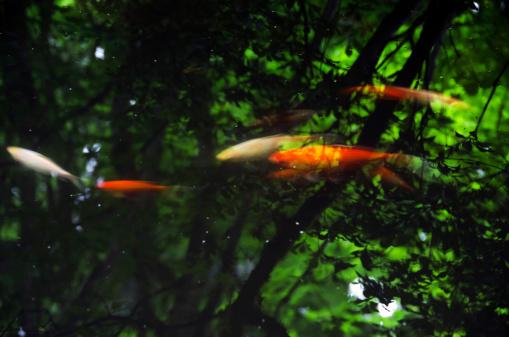 Carp「Japenese fish pond」:スマホ壁紙(7)