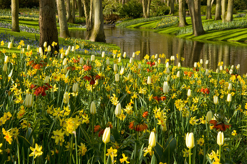 Keukenhof Gardens「Tulips and Daffodils among trees and stream.」:スマホ壁紙(14)