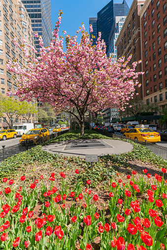 チューリップ「Tulips and Cherry blossoms in full-blossomed at Park Avenue in Manhattan New York City. Manhattan Traffic goes through both sides of flowers.」:スマホ壁紙(17)