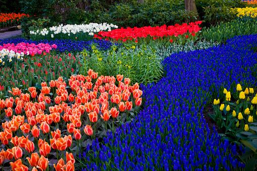 Keukenhof Gardens「Tulips and grape hyacinth in Keukenhof Gardens」:スマホ壁紙(14)