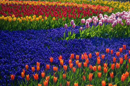 Keukenhof Gardens「Tulips and grape hyacinth in Keukenhof Gardens」:スマホ壁紙(2)