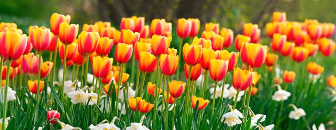 水仙「チューリップとパノラマに広がる Daffodils (画像」:スマホ壁紙(18)