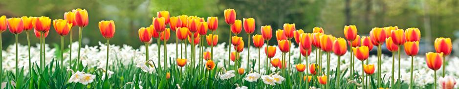 水仙「チューリップとパノラマに広がる Daffodils (画像」:スマホ壁紙(16)