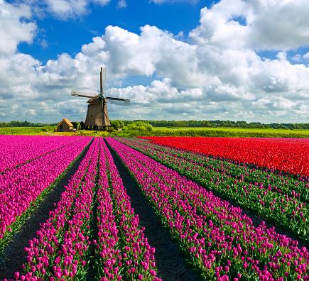 Netherlands「Tulips and Windmill」:スマホ壁紙(14)