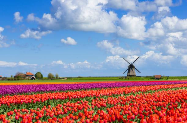 Tulips and Windmill:スマホ壁紙(壁紙.com)