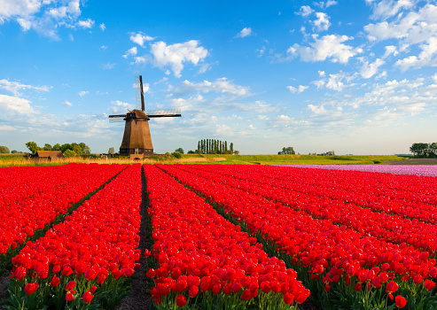 Netherlands「Tulips and Windmill」:スマホ壁紙(13)
