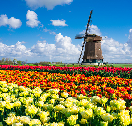 Netherlands「Tulips and Windmill」:スマホ壁紙(1)
