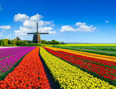 Netherlands「Tulips and Windmill」:スマホ壁紙(6)