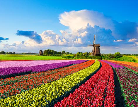 Netherlands「Tulips and Windmill」:スマホ壁紙(16)