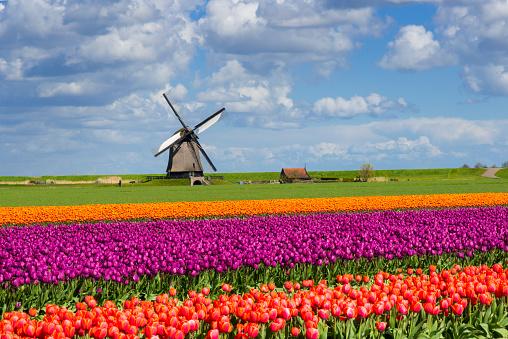 Netherlands「Tulips and Windmill」:スマホ壁紙(2)