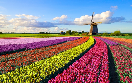 Netherlands「Tulips and Windmill」:スマホ壁紙(11)