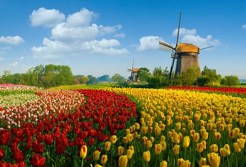 Netherlands「Tulips and Windmill」:スマホ壁紙(7)