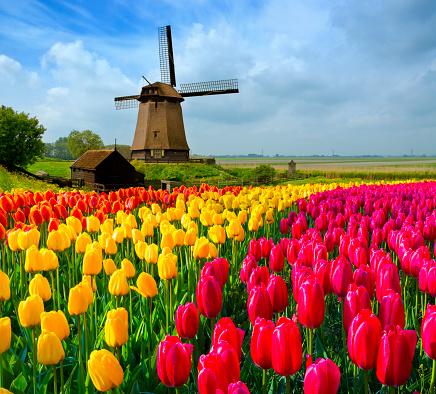 Netherlands「Tulips and Windmill」:スマホ壁紙(4)