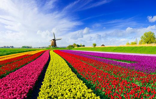 Netherlands「Tulips and Windmill」:スマホ壁紙(1)