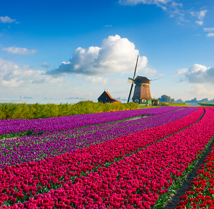 Netherlands「Tulips and Windmill」:スマホ壁紙(4)