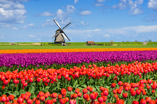 Netherlands「Tulips and Windmill」:スマホ壁紙(10)