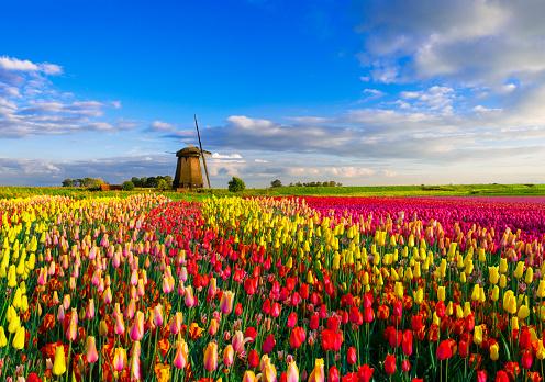 Netherlands「Tulips and Windmill」:スマホ壁紙(10)