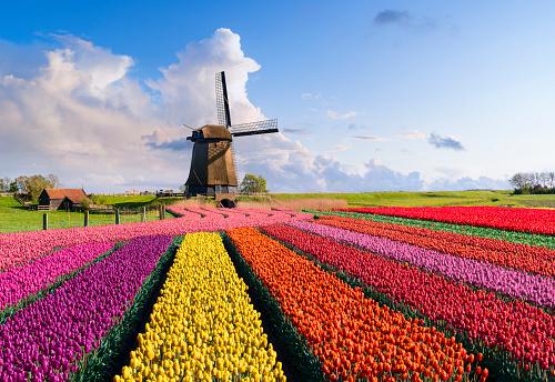 Netherlands「Tulips and Windmill」:スマホ壁紙(12)