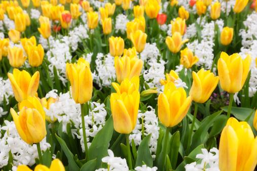 Hyacinth「Tulips And Hyacinths」:スマホ壁紙(2)