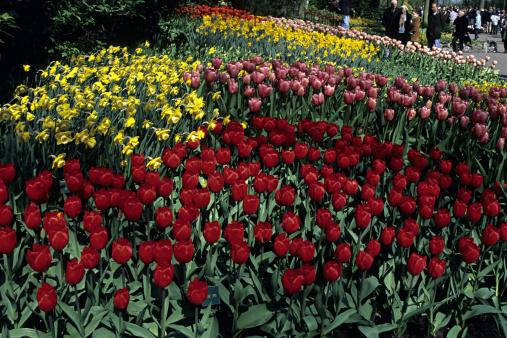 キューケンホフ公園「Tulips and daffodils in famous Keukenhof Park, Holland」:スマホ壁紙(18)