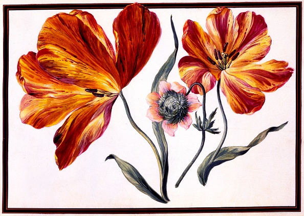 Stamen「Tulips And Anenome」:写真・画像(9)[壁紙.com]