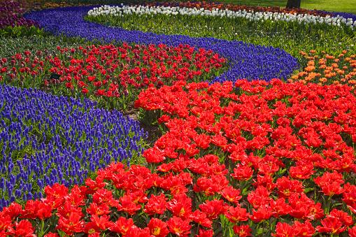 Keukenhof Gardens「Tulips and hyacinth in Keukenhof Gardens」:スマホ壁紙(15)