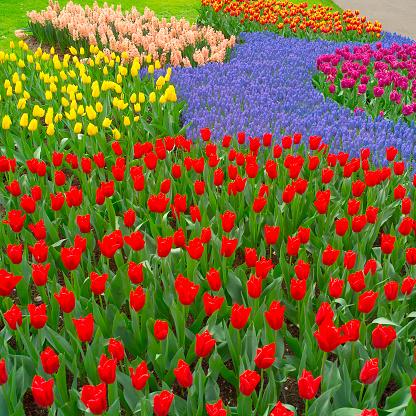 Keukenhof Gardens「Tulips and Hyacinth」:スマホ壁紙(15)