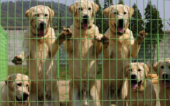 動物「Cloned Sniffer Dogs Begin Training」:写真・画像(14)[壁紙.com]