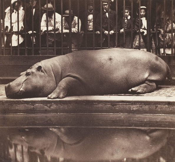 Tourism「The Hippopotamus At The Zoological Gardens」:写真・画像(13)[壁紙.com]