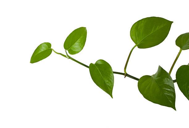 ivy growing natural:スマホ壁紙(壁紙.com)
