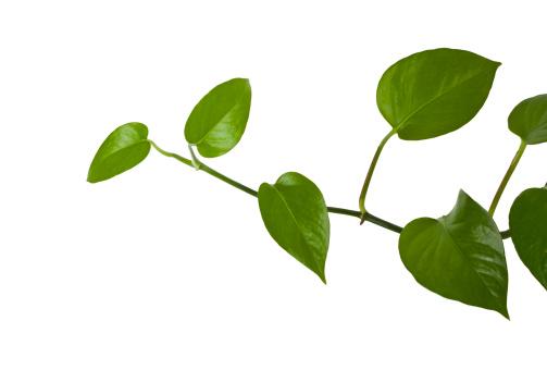 Floral Pattern「ivy growing natural」:スマホ壁紙(10)