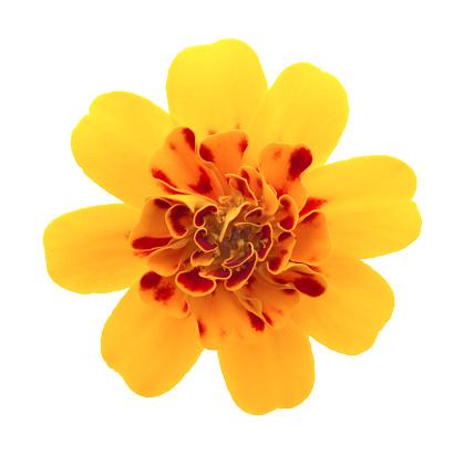 Pot Marigold「Marigold.」:スマホ壁紙(17)