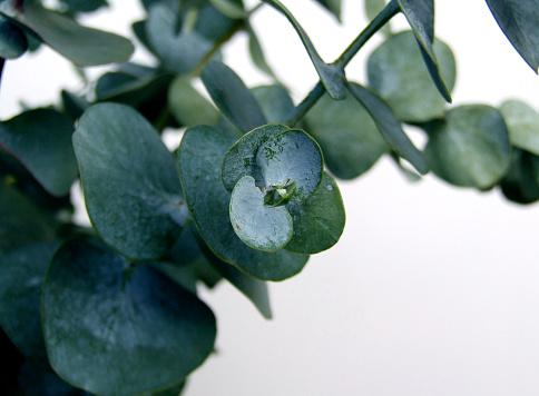 Horticulture「Waxy dark green eucalyptus leaves on a branch」:スマホ壁紙(12)