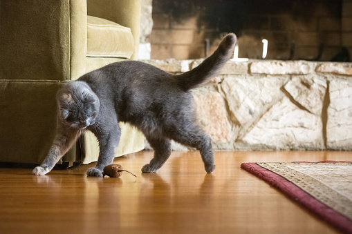 Walking「Gray Scottish Fold cat playing with toy mouse in living room」:スマホ壁紙(10)
