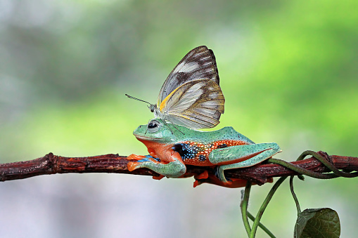 昆虫「Butterfly sitting on a tree frog, Indonesia」:スマホ壁紙(6)