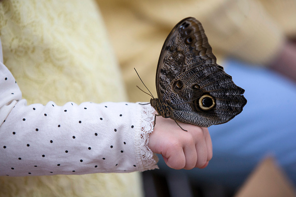 Butterfly - Insect「Butterflies Are Released Into The Natural History Museum's Exhibtion」:写真・画像(3)[壁紙.com]