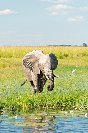Chobe River「Botswana, Chobe National Park, African elephant at Chobe River」:スマホ壁紙(19)