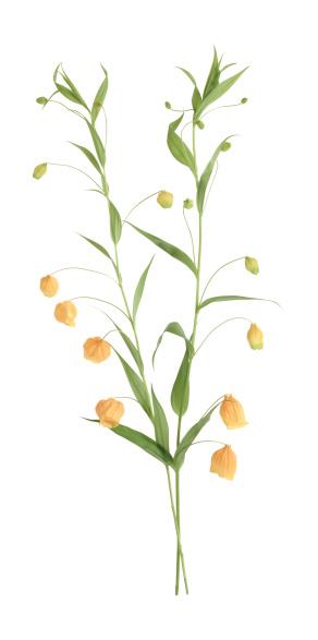 Flowering Maple「Chinese lantern flower」:スマホ壁紙(7)