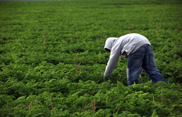 Parsley「Colorado Farm Suffers As Immigrant Workforce Diminishes」:写真・画像(8)[壁紙.com]