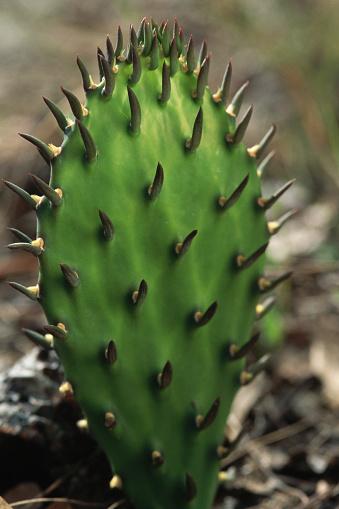Ocala National Forest「Thorny Cactus」:スマホ壁紙(4)