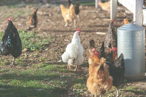 母の日「母の日 - 鶏屋外コロラド州西部で夜遅く」:スマホ壁紙(7)