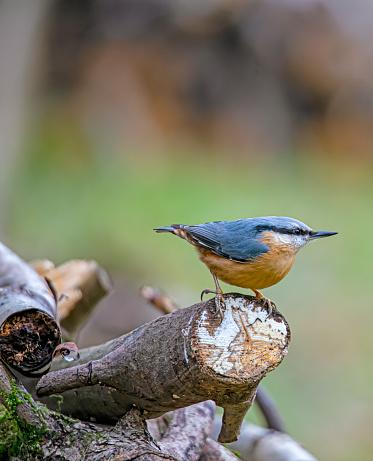 Bird「Nuthatch on a log」:スマホ壁紙(0)