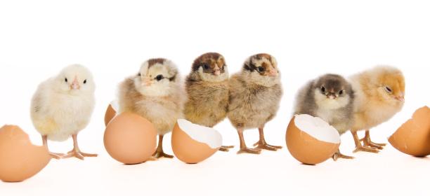 Animal Egg「Baby Chicks」:スマホ壁紙(13)