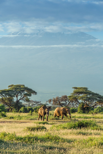 Animals In The Wild「Elephant in front of Mount Kilimanjaro & Mawenzi Peak」:スマホ壁紙(18)