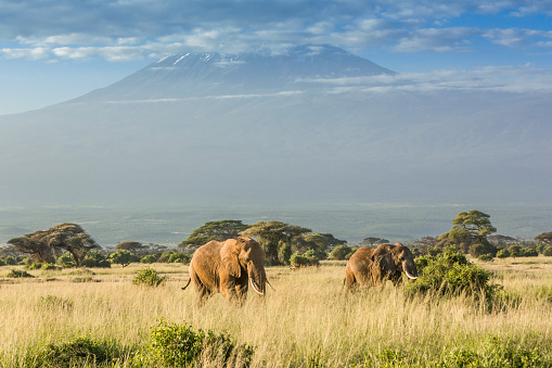 Animal Wildlife「Elephant in front of Mount Kilimanjaro & Mawenzi Peak」:スマホ壁紙(6)