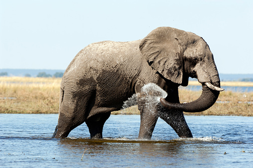 Chobe River「Elephant in Chobe river, Botswana」:スマホ壁紙(12)