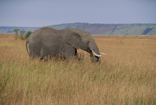 Elephant「Elephant in Africa」:スマホ壁紙(1)