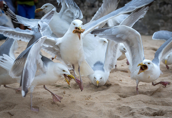 Obsolete「Seagull Attacks Being Reported From Coastal Towns This Summer」:写真・画像(3)[壁紙.com]
