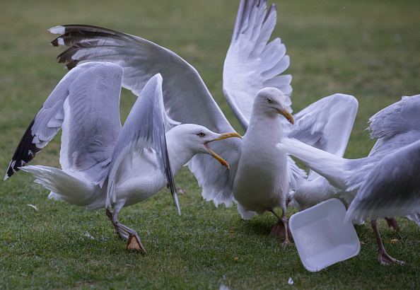 Obsolete「Seagull Attacks Being Reported From Coastal Towns This Summer」:写真・画像(2)[壁紙.com]
