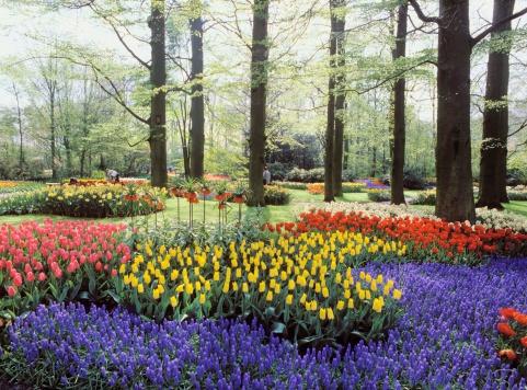 Amsterdam「Tulips in Keukenhof Garden, Amsterdam, Netherlands」:スマホ壁紙(7)